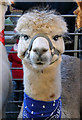 NT4936 : An alpaca at Galashiels Christmas Fayre by Walter Baxter