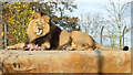 SJ4170 : Iblis the Asiatic Lion at Chester Zoo by Jeff Buck
