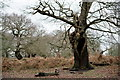 TQ1971 : Old Oak in Richmond Park by Peter Trimming