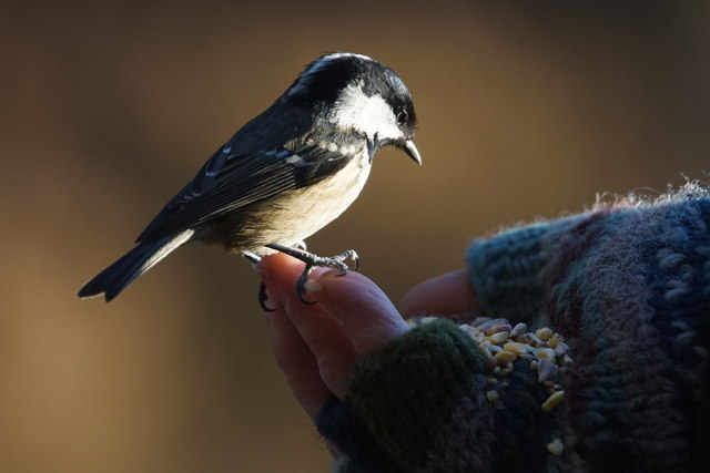Coal Tit (Periparus ater) being handfed at Loch Garten
