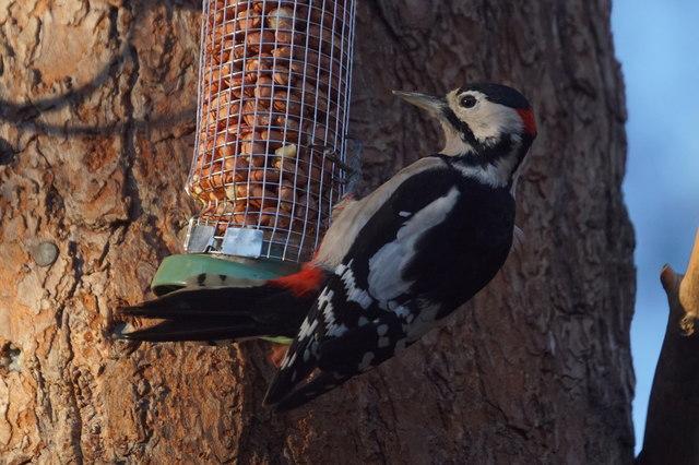 Great Spotted Woodpecker (Dendrocopos major), Loch Garten