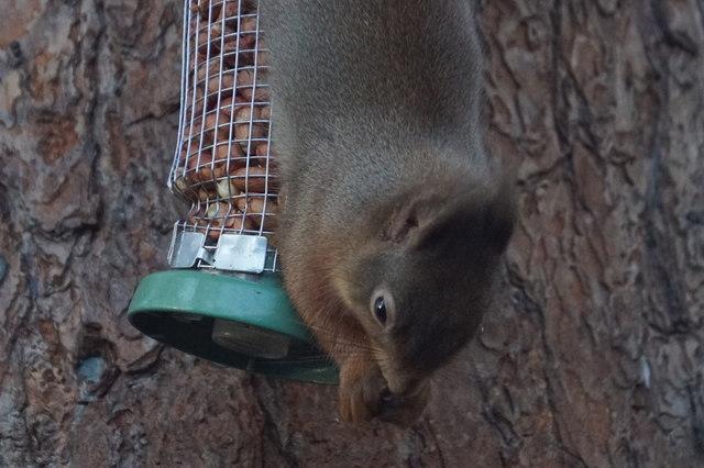 Red Squirrel (Sciurus vulgaris), Loch Garten