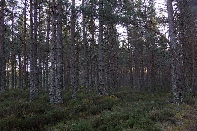 Abernethy Forest south of Nethy Bridge
