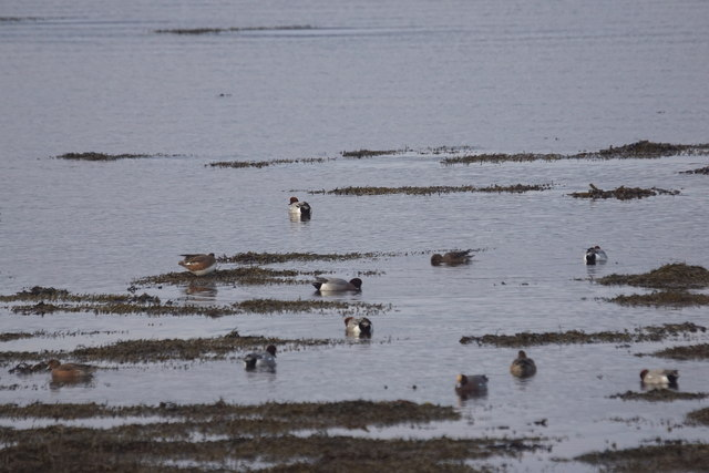 Wigeon (Mareca penelope) on the shore at Allanfearn