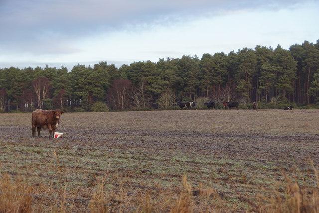 Cattle at Easter Dalziel