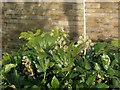 SE1422 : Fatshedera flowers, Bradford Road subway, Brighouse by Humphrey Bolton