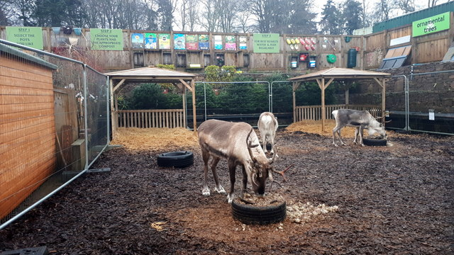 Reindeer at Simpsons Garden Centre