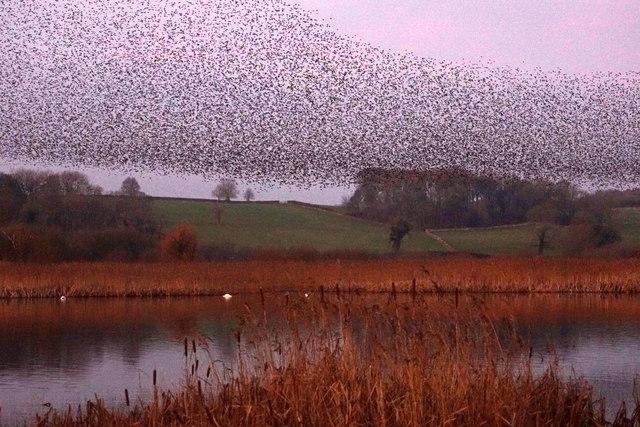 Murmurating Starlings, Leighton Moss