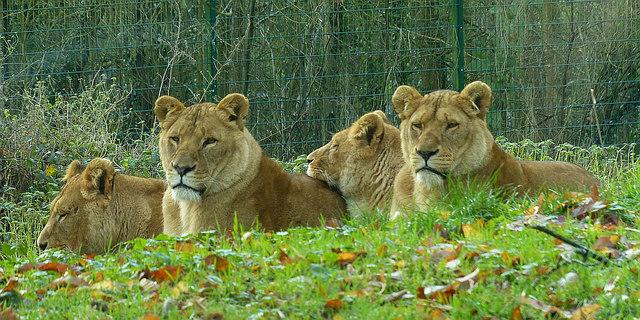 Lions,  Longleat Safari Park