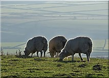 SK2077 : Three sheep on Bretton Mount by Neil Theasby