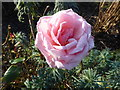 TR1167 : A Christmas rose? In Whitstable Castle Gardens by pam fray