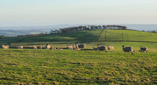 Sheep on Wolsingham North Moor