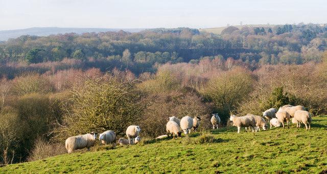 Sheep below the farm at McNeil