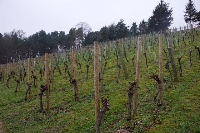 The vineyard at Painshill, Cobham