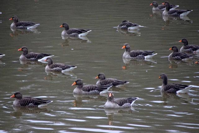 Greylag Geese (Anser anser), Painshill, Cobham