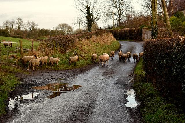 Sheep, Donaghanie