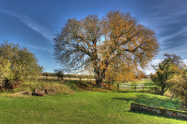 Oak by the Mill House, Clare