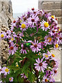 SY9776 : Sea aster (Tripolium pannonicum) by Phil Champion