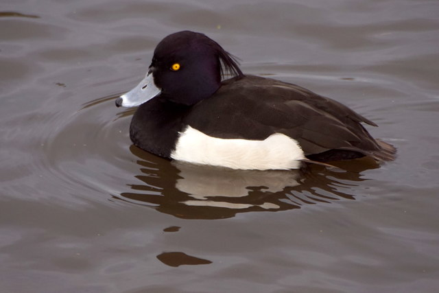 Male Tufted Duck (Aythya fuligula), Heron Pond, Bushy Park