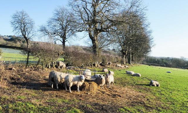 Sheep feeding in field east of Holywood
