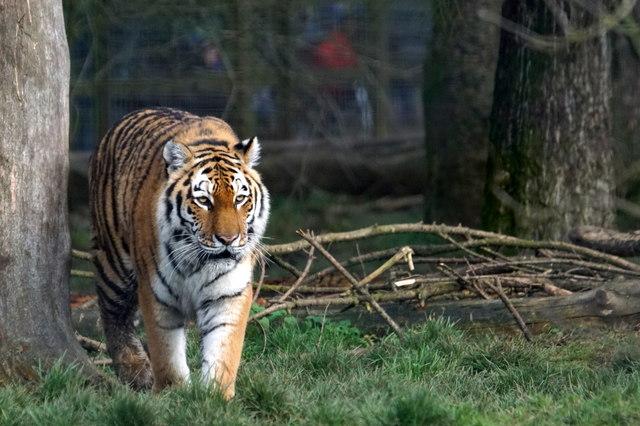 Siberian Tiger (Felis tigris tigris), Whipsnade Zoo