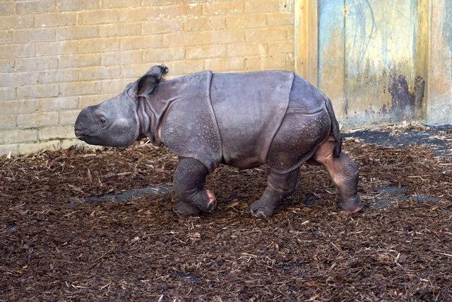 Baby Indian Rhinoceros (Rhinoceros unicornis), Whipsnade Zoo