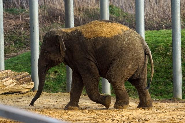 Baby Indian Elephant (Elephas maximus), Whipsnade Zoo