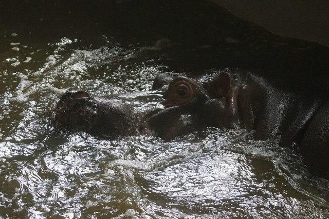 Common Hippopotamus (Hippopotamus amphibius), Whipsnade Zoo
