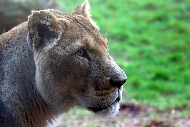 Female Lion (Panthera leo), Whipsnade Zoo