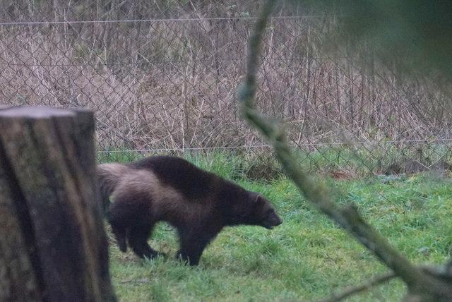 Wolverine (Glus glus), Whipsnade Zoo