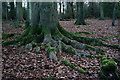 TQ1351 : Beech Roots by Peter Trimming