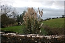 ST8969 : Pampas grass by Thingley Bridge by David Howard