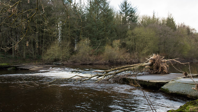 Stranded tree on Wear and weir