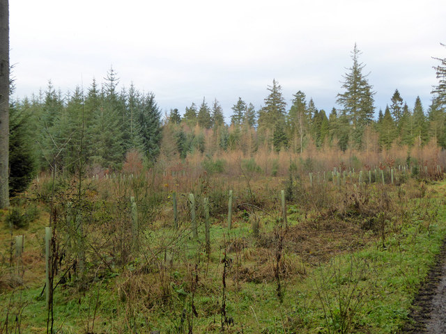 Replanted block, Bowmont Forest