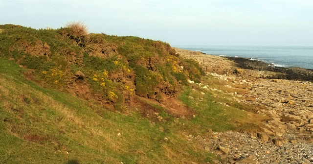 Gorse near Craster