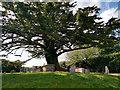 SZ0382 : Yew tree in the churchyard - St Nicholas' Church, Studland by Phil Champion