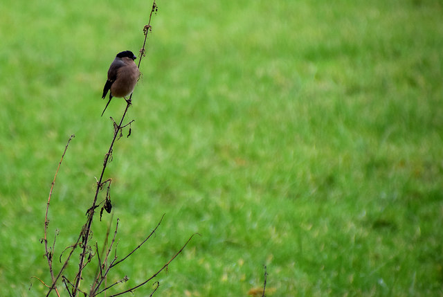 Hen bullfinch, Mullaghmore