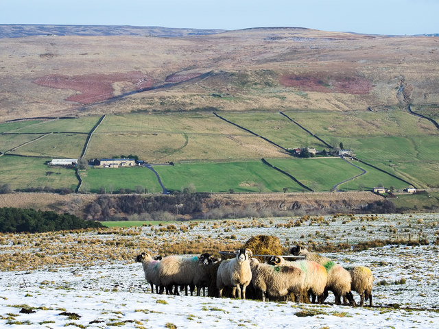 Sheep feeding on Northgate Fell