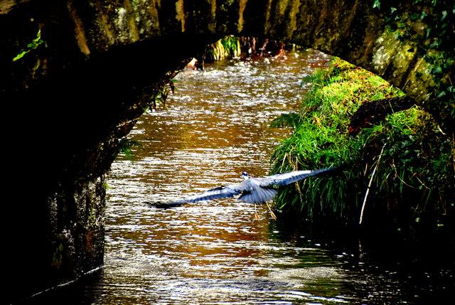 Heron in flight under a bridge, Cranny