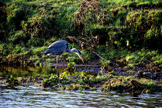 Heron, Campsie