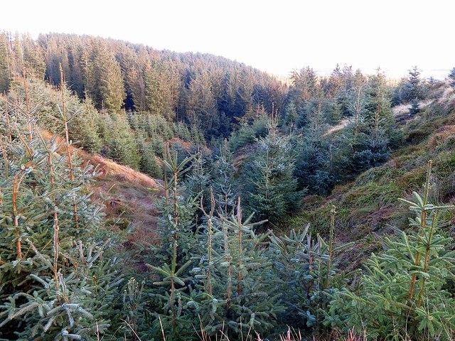Wooded valley of Lindhope Burn