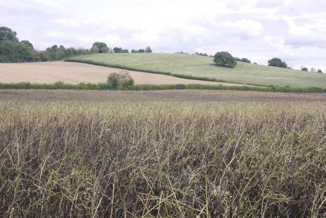 Bean crop, Bodenham