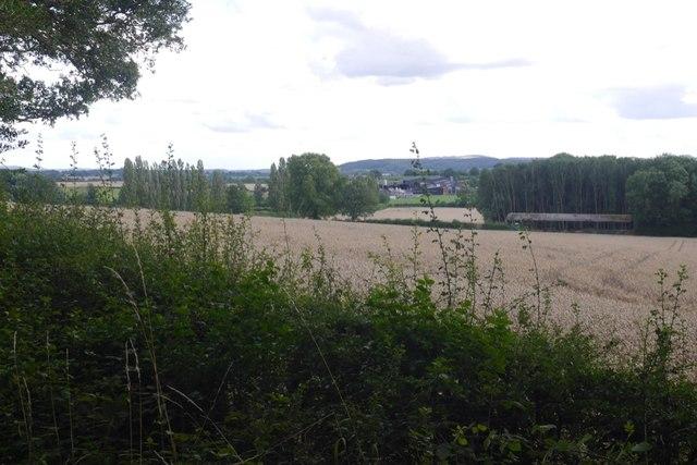 Wheat, Rosemaund
