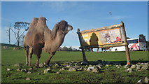 SO8075 : Camel at West Midland Safari Park by Fabian Musto
