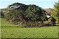 SX9054 : Cedar tree, Lupton Park by Derek Harper