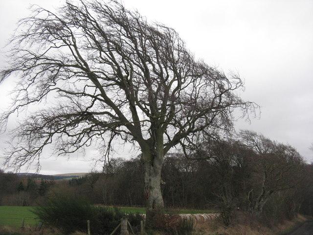 Beech tree at Baro