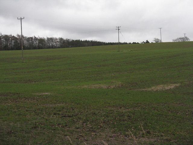 Winter wheat at Linkylea