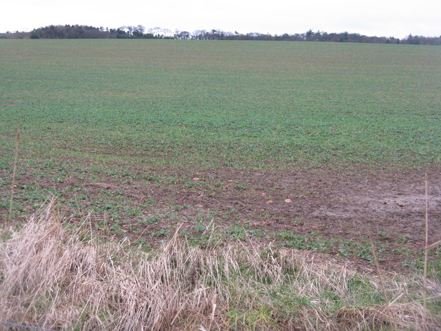 Oil Seed Rape near Chesters Farm