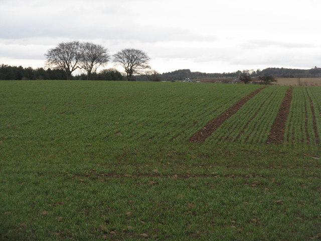 Tramlines in winter Barley