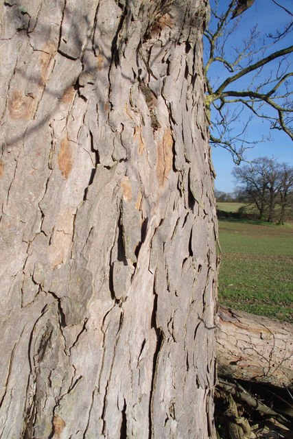 Bark of the Old Tree